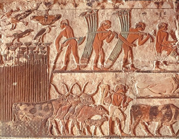 A drove of cattle from the tomb of Nefer and Kahay, Saqqara, Egypt